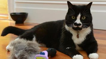 Как ухаживать за шерстью кошки во время линьки