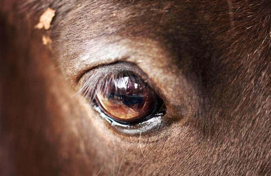 Глаза лошади – особенности зрения