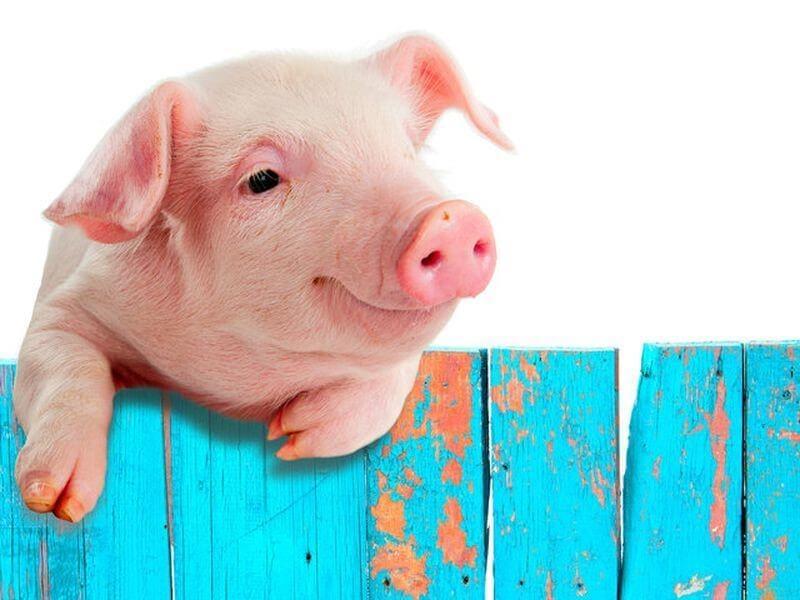 Дизентерия свиней: формы и симптомы